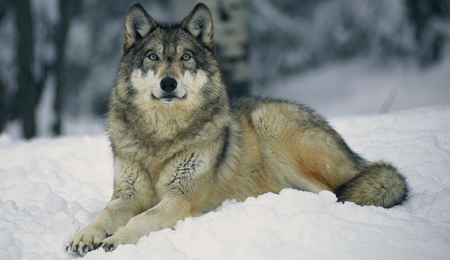 The Wolf Livestock Conflict Prevention Grants Provides Funding For